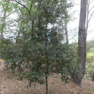 Photographie n°70147 du taxon Quercus ilex L. [1753]