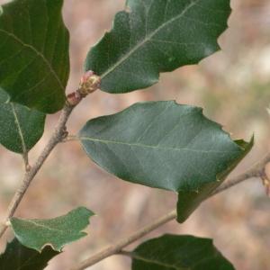 Photographie n°70151 du taxon Quercus ilex L. [1753]