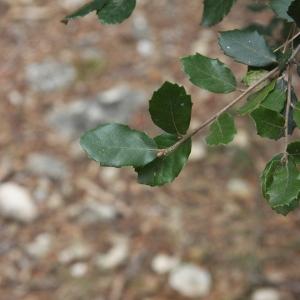 Photographie n°70153 du taxon Quercus ilex L. [1753]
