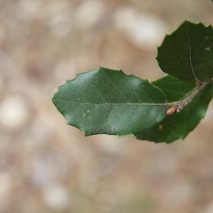 Photographie n°70155 du taxon Quercus ilex L. [1753]