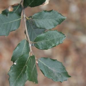 Photographie n°70156 du taxon Quercus ilex L. [1753]