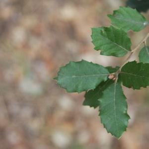 Photographie n°70157 du taxon Quercus ilex L. [1753]