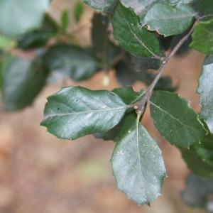 Photographie n°70158 du taxon Quercus ilex L. [1753]