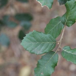 Photographie n°70159 du taxon Quercus ilex L. [1753]
