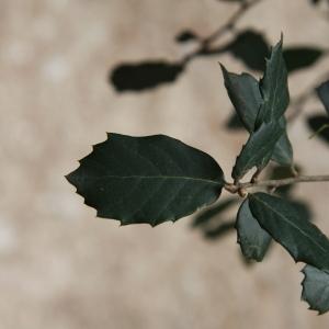 Photographie n°70161 du taxon Quercus ilex L. [1753]