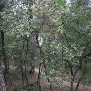 Photographie n°70201 du taxon Quercus ilex L. [1753]