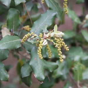 Photographie n°70202 du taxon Quercus ilex L. [1753]