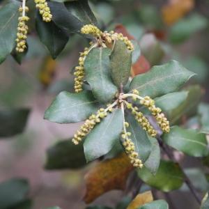 Photographie n°70203 du taxon Quercus ilex L. [1753]