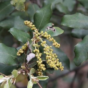 Photographie n°70204 du taxon Quercus ilex L. [1753]