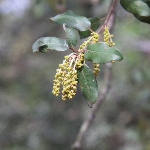 Photographie n°70206 du taxon Quercus ilex L. [1753]