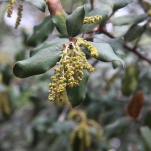 Photographie n°70207 du taxon Quercus ilex L. [1753]
