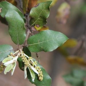 Photographie n°70215 du taxon Quercus ilex L. [1753]