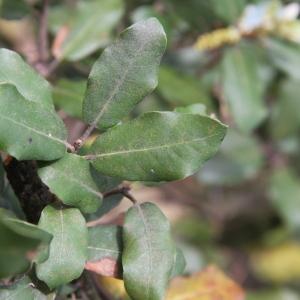 Photographie n°70217 du taxon Quercus ilex L. [1753]