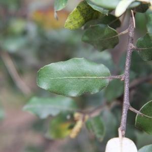 Photographie n°70218 du taxon Quercus ilex L. [1753]