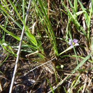 Photographie n°70292 du taxon Romulea bulbocodium (L.) Sebast. & Mauri