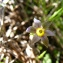 Emmanuel Stratmains - Romulea bulbocodium (L.) Sebast. & Mauri [1818]