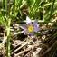Emmanuel Stratmains - Romulea bulbocodium (L.) Sebast. & Mauri