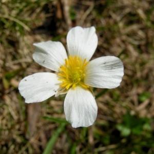 Ranunculus pyrenaeus var. angustifolius (DC.) F.W.Schultz (Renoncule à feuilles étroites)