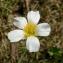 Alain Bigou - Ranunculus angustifolius DC. [1808]