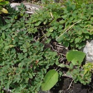 Photographie n°70333 du taxon Vaccinium uliginosum L. [1753]