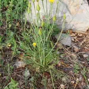 Photographie n°70348 du taxon Scorzonera laciniata L.