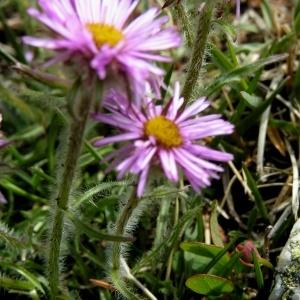 Erigeron uniflorus subsp. aragonensis (Vierh.) O.Bolòs & Vigo (Vergerette d'Aragon)