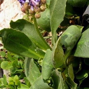 Photographie n°70354 du taxon Primula latifolia Lapeyr.