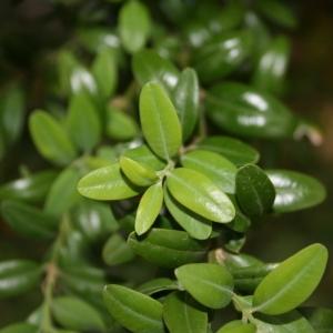 Photographie n°70394 du taxon Buxus sempervirens L. [1753]