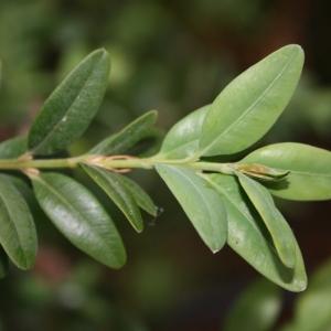Photographie n°70398 du taxon Buxus sempervirens L. [1753]