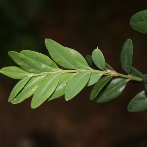 Photographie n°70401 du taxon Buxus sempervirens L.