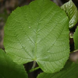 Photographie n°70427 du taxon Tilia platyphyllos Scop. [1771]