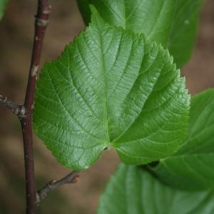 Photographie n°70430 du taxon Tilia platyphyllos Scop. [1771]