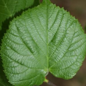 Photographie n°70431 du taxon Tilia platyphyllos Scop. [1771]