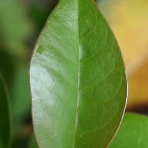 Photographie n°70460 du taxon Ligustrum vulgare L. [1753]