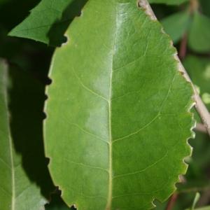 Photographie n°70462 du taxon Ligustrum vulgare L. [1753]