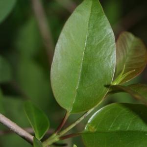Photographie n°70463 du taxon Ligustrum vulgare L. [1753]