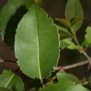 Photographie n°70464 du taxon Ligustrum vulgare L. [1753]