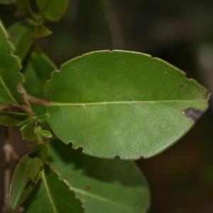 Photographie n°70465 du taxon Ligustrum vulgare L. [1753]