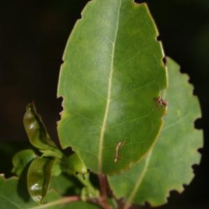 Photographie n°70466 du taxon Ligustrum vulgare L. [1753]