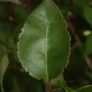 Photographie n°70467 du taxon Ligustrum vulgare L. [1753]
