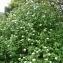 Paul Fabre - Viburnum lantana L.