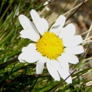Photographie n°70490 du taxon Leucanthemopsis alpina (L.) Heywood
