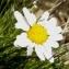 Alain Bigou - Leucanthemopsis alpina (L.) Heywood