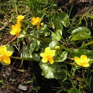 Photographie n°70497 du taxon Caltha palustris subsp. palustris