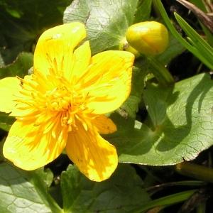 Photographie n°70498 du taxon Caltha palustris subsp. palustris