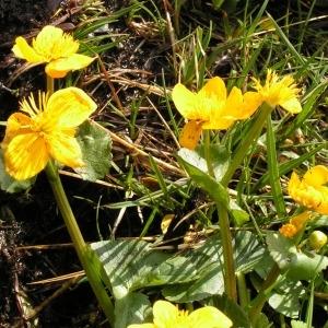 Photographie n°70499 du taxon Caltha palustris subsp. palustris