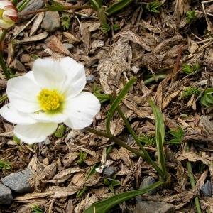 Photographie n°70535 du taxon Ranunculus pyrenaeus L.
