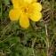 Alain Bigou - Ranunculus grenierianus Jord. [1854]