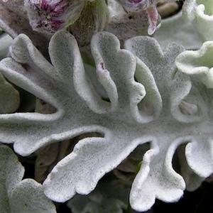 Photographie n°70554 du taxon Senecio leucophyllus DC. [1813]