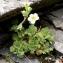 Alain Bigou - Saxifraga pubescens subsp. iratiana (F.W.Schultz) Engl. & Irmsch. [1916]